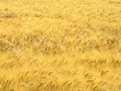 Fête de Moissons à Revest du Bion le 2 août